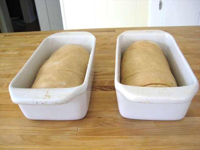 Dough rolls in pans, ready to rise